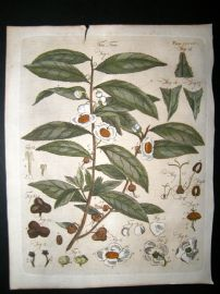 Encyclopaedia Britannica C1790 Hand Col Botanical Print. Tea Tree